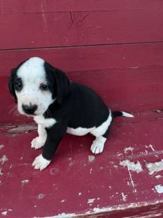 Copper - Bernese Mountain Dog Mix Puppy for Sale in Blairsville, PA | Lancaster Puppies Bernese Mountain Dog Mix, Mountain Dogs, Lancaster Puppies, Dog Mixes, Family Set, Puppies For Sale, Animals, Animales, Animaux