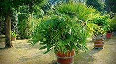 Discover the best source for free images and videos. Free for commercial use ✓ No attribution required ✓ Potted Palms, Palmiers, Fertility, Garden Projects, Palm Trees, Free Images, Garden Design, Plants, Landscaping