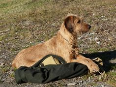 PEINTINGER BRACKE/STEIRISCHE ROUGH-HAIRED MOUNTAIN HOUND
