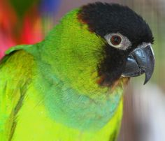 The black-hooded parakeet (Nanday conure) can be an affectionate, intelligent, and vocal bird. Check if keeping this bird is legal; Nanday Conure, Room Freshener, Budgies, Parrots, Kinds Of Birds, Bird Feathers, Animals Beautiful, Pet Birds, Black