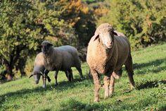 Kontakty na zodpovědné osoby Jalového dvora - Ekofarma Jalový dvůr Lamb, Animals, Animales, Animaux, Animal, Animais, Baby Sheep