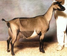 Alpine Dairy Goat Colors | CH The Iron Rod TH Sigourney