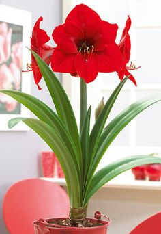 "Amaryllis hippeastrum Large Flowering 'Red Lion' from Netherland Bulb Company - Some foliage may surround a thick stem that supports multiple flowers that brighten up any winter home. One of the easiest bulbs to grow indoors in a warm sunny location. Put 2"" of potting soil in a pot at least 6"" in diameter. Set bulb in the pot and spread out the roots. Gently pack more potting soil between the roots and around the bulb, covering 2/3 of the bulb and leaving 1/3 of the bulb above the soil line."