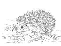 East European Hedgehog Coloring page
