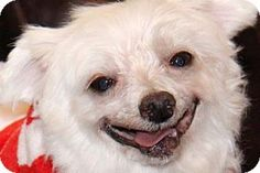 Colorado Springs, CO - Maltese. Meet Sirius, a dog for adoption. http://www.adoptapet.com/pet/14265776-colorado-springs-colorado-maltese