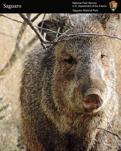 Lovely Javelina