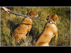 Two French Mastiffs walking on Multi Mode Leather Dog Leash - Laid-Back Walking Lead Dog Leash, Bordeaux, Walking, French, Dogs, Leather, Jogging, French People, Bordeaux Wine