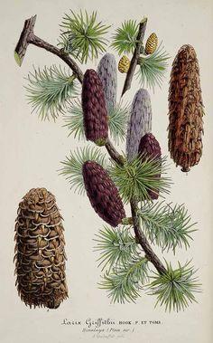 30414 Larix griffithii Hook.f. / L' Illustration horticole, vol. 2: t. 72 (1855)
