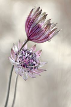 Astrantia by Mandy Disher / by VoyageVisuel Astrantia Flower, Spring Flowers, Wild Flowers, June Flower, Valley Of Flowers, Shades Of Violet, Macro Flower, Exotic Plants, Flower Images