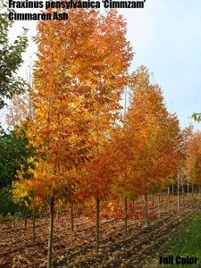 Images about trees on pinterest ash honey locust and shade trees