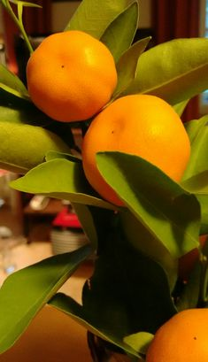 Calamondin Mandarinenbäumchen Sunshine, Tropical, Orange, Fruit, Creative, Nikko
