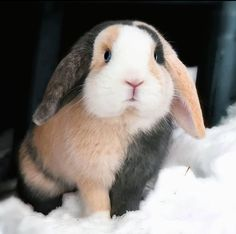 What to Buy Next for Your Bunny Rabbit! Cute Baby Bunnies, Funny Bunnies, Lop Bunnies, Bunny Bunny, Animals And Pets, Funny Animals, Pet Rabbit, House Rabbit, Cute Little Animals