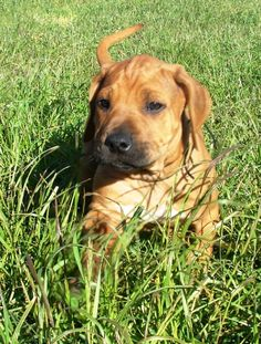baby rhodesian ridgeback puppy