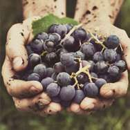 Be a Winemaker for a Day! Harvest Edition