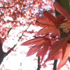 Get Pink Acer, Morpeth photos and images from Picfair. Find high-quality stock photos that you won't find anywhere else. Acer, Stock Photos, Plants, Pink, Photography, Image, Photograph, Fotografie, Photoshoot