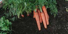 🥕🌿🌼 Φυτεύουμε καρότα, τα πεντανόστιμα και πολύ θρεπτικά λαχανικά! Τα καρότα χρειάζονται αφράτο χώμα για να αναπτυχθούν και σταθερό πότισμα περίπου 2 φορές την εβδομάδα. 🌱 Αν θέλουμε να δοκιμάσουμε κάτι διαφορετικό, μπορούμε να καλλιεργήσουμε και ποικιλίες καρότου με κίτρινο, μωβ και λευκό χρώμα. 🍠 Υπάρχουν, επίσης, στρογγυλά καρότα και καρότα σε σχήμα κώνου.