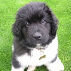 94 Best Male Landseer Puppies Images Dogs Newfoundland Puppies