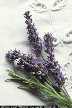 ℒ a v e n d e r. The Lord provides...even lovely fragrances!