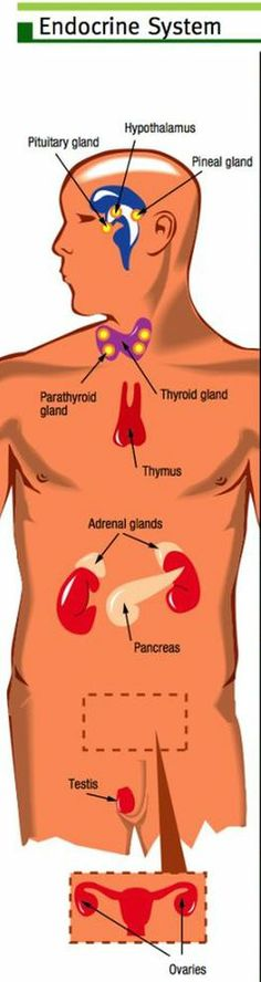 endocrine locations