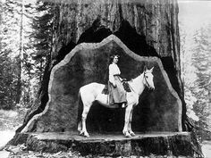 Horse in cut out tree. old us forestry pictures Vintage Pictures, Old Pictures, Old Photos, Giant Tree, Big Tree, Unique Trees, Old Trees, All Nature, Historical Pictures