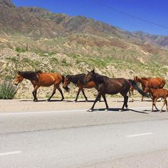 #horses on the freeway in #kirgistan  can you believe it?