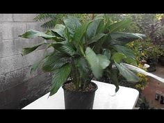 Houseplant Care: Peace Lily Re Potting & Propagation Peace Lillies, House Plant Care, Peace Lily, Propagation, Low Lights, Houseplants, Garden Plants, Planters, Home And Garden