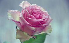 Скачать обои макро, фон, цветок, листья, вода, лепестки, розовая роза, капли, раздел цветы в разрешении 1440x900