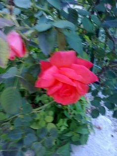 una rosa a casa mia