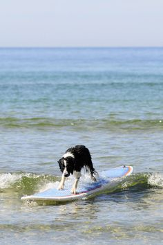 If I had a dog ... she would love the beach and would go surfing the waves on a surfboard! Gnarly!