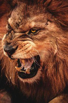 Lion Face Growl