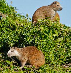Hutia (Banana Rat), Cuba