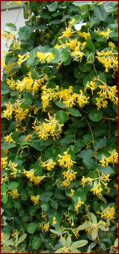 Lonicera tragophylla IS THIS MY MYSTERY HONEYSUCKLE?  beautiful yellow and gold flowers that can reach 3 inches each in clusters of a dozen or more flowers per stem tip. The color is very well complemented by the large, clean blue-green foliage.the outsides of the buds are often blushing red! A mature plant in full bloom is such a site to behold! This vine is very shade tolerant, too!    Chinese Honeysuckle Full Sun, Partial Shade, Shade Zones 6 to 9 8-15 feet
