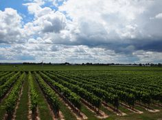 Jackson Triggs Vineyard in Summer Wine Country, Wines, Vineyard, Jackson, Storage, Summer, Outdoor, Purse Storage, Outdoors