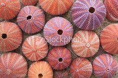 Red sea urchin shells | Stock Photo | iStock