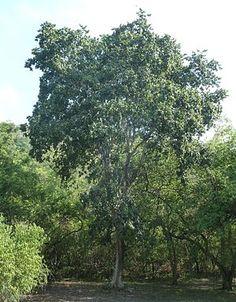 African Tree, African Plants, Urban Park, Port Elizabeth, Deciduous Trees, Garden Trees, Shade Plants, Zinnias, Africa Travel