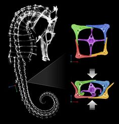 Seahorses armor gives engineers insight into robotics designs