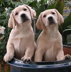 Cute Yellow labs!