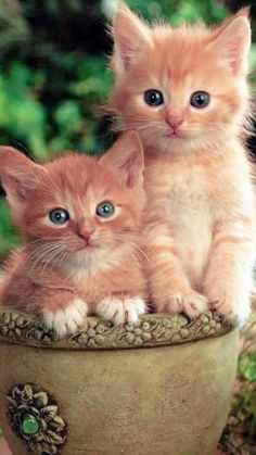 Cute Little Kittens, Cute Cats And Dogs, Kittens Cutest, Cats And Kittens, Orange And White Cat, White Cats, Cute Animals Kissing, Orange Tabby Cats, Kitten Meowing