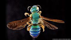 """(S., 23 NOV 2013) LAS ABEJAS. EN FOTOS: """"encuentros cercanos con las abejas"""" (BBC)."""