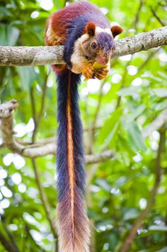 Found out it is a Indian Giant Squirrel. So Pretty.