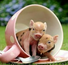 Teacup Piglets | La Beℓℓe ℳystère