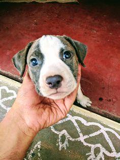 Blue eyed pitbull puppy! http://ift.tt/2p6CD9X
