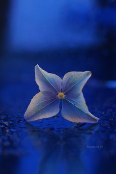 ~~Little blue pinwheel | Blue Hydrangea flower | by Anastasia Ri~~
