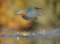 The Photo I Was Going For Of The Perfect Dive Flawlessly Straight - Man finally captures the perfect kingfisher photo after 6 years and 720000 attempts