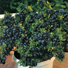 Cheap semillas de, Buy Quality fruit seeds directly from China seeds fruit Suppliers: 2017 Semillas De Flores Pcs Blueberry Bonsai Series Tea Heirloom Berry Fresh Seeds, Edible Fruit, Indoor, Outdoor Growing Food, Fruit Seeds, Container Gardening, Trees To Plant, Growing Blueberries, Garden Supplies, Plants, Strawberry Seed, Container Gardening Vegetables