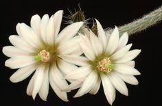 Wilcoxia leucantha