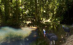 """Cassowary Family on Tassel Fern Creek in the """"Daintrees"""" Queensland"""