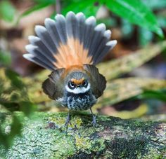 RUFOUS FANTAI----lives south east Australia By Tropical Birding Tours.  Australia has 5 species of fantail and rufous and his friends live along the eastern mainland, they nest in a small neat cup with a long tail and lay 2-3 spotted buff eggs, they grow to 16cm.