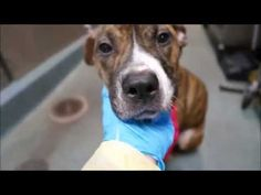 ===PIPER – A1048543 | Help us Save NYC AC&C Shelter Dogs---WILL DIE  HURRY BEFORE IT'S TOO LATE NYC ETC