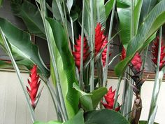 heliconia | Heliconia hirsuta 'Costa Flores' is native to Mexico, Brazil and Peru ...